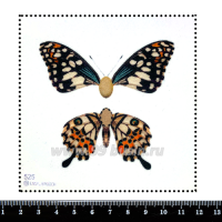 Шаблон для броши Бабочка 3D/из двух частей, фетр Корея Премиум, толщина 1,25 мм, размер 10*10 см 063158 - 99 бусин